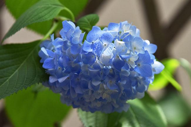 紫陽花♪.jpg